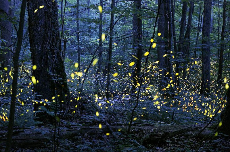 Wanderlust Tips Magazine   Christmas lights made by synchronous fireflies on Great Smoky Mountains